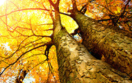<p>Fall's Golden trees.</p>