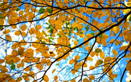 <p>Fall colored leaves and branches.</p>