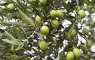 <p>Olive tree branches.</p>