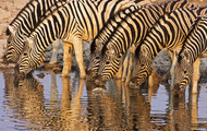 <p>Zebras at African waterhole.</p>