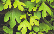 <p>Green leaves.</p>